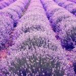 10 Najlepszych Ziół do Waporyzacji i Aromaterapii
