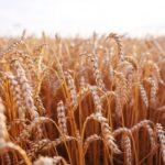Dlaczego warto sięgać po stare odmiany pszenicy?